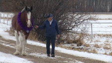 Allan Gordeyko, of Willow Way Clydesdales, walks his award-winning mare, Puzzle, on the family farm.