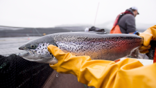 An Atlantic salmon is seen during a fish health audit at the Okisollo fish farm near Campbell River, B.C. Wednesday, Oct. 31, 2018. Members of DFO routinely visit farms surrounding British Columbia to make sure that the health of the salmon populations in fish farms is up to standard. THE CANADIAN PRESS /Jonathan Hayward