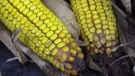 Vomitoxin, a potentially dangerous mould, is causing big concerns for Ontario corn farmers. (Scott Miller / CTV London)