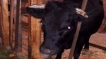 'I'm afraid': Coco the cow on the loose