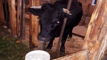 Coco the escaped cow is seen in this undated photo. (NTV)