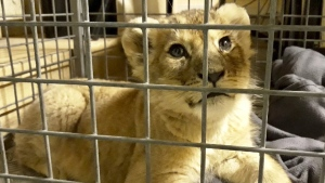 The lion cub found by police in a Lamborghini on Paris' famed Champs-Elysees avenue, on Nov. 12, 2018 in Paris.  (Fondation 30 Millions d'Amis via AP)