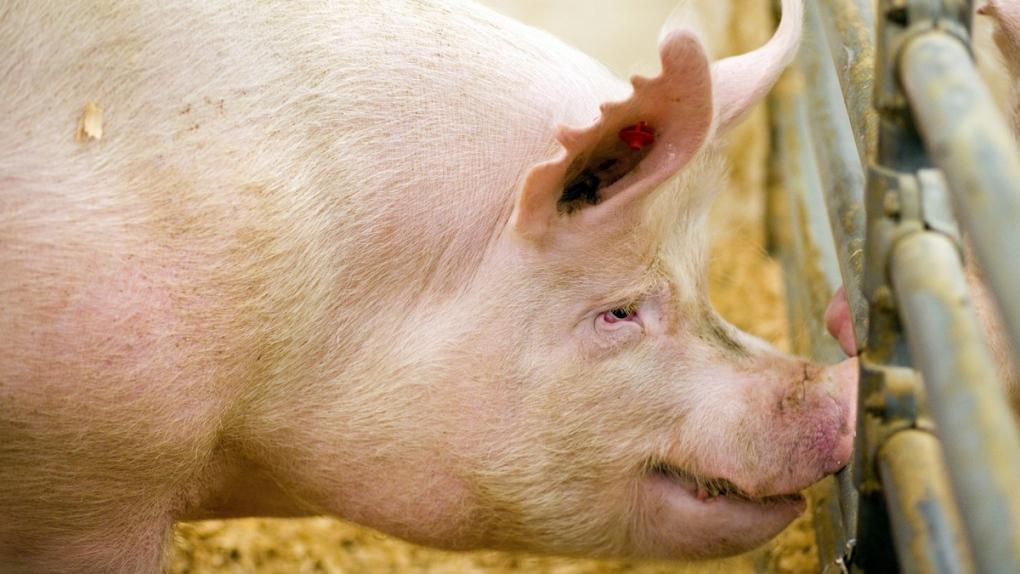A boar that had its genes edited