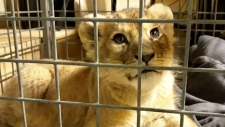 This lion cub discovered in luxury car in Paris.