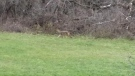 A coyote seen running along the tree line near a backyard playground.