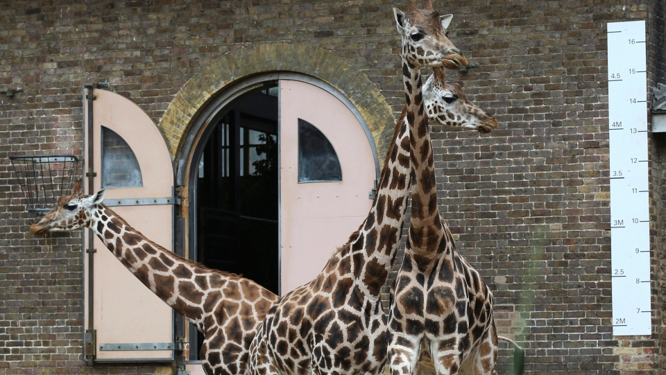 he giraffes at London Zoo stand beside a tape measure during its annual weigh in, in London, Thursday, Aug. 23, 2018. (AP Photo/Nishat Ahmed)