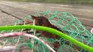 crab harvesting