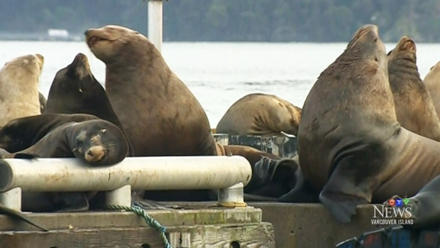 'The smell can be really rank': Loud, stinky sea lions invade quiet B.C. town