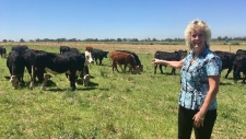 Animal geneticist Alison Van Eenennaam of the University of California, Davis, points to a group of dairy calves that won't have to be de-horned thanks to gene editing, on July 11, 2018. (Haven Daley / AP)