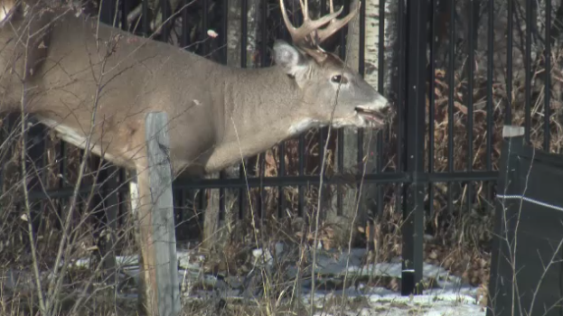 The deer attempted to jump over the fence, but became impaled on it instead.