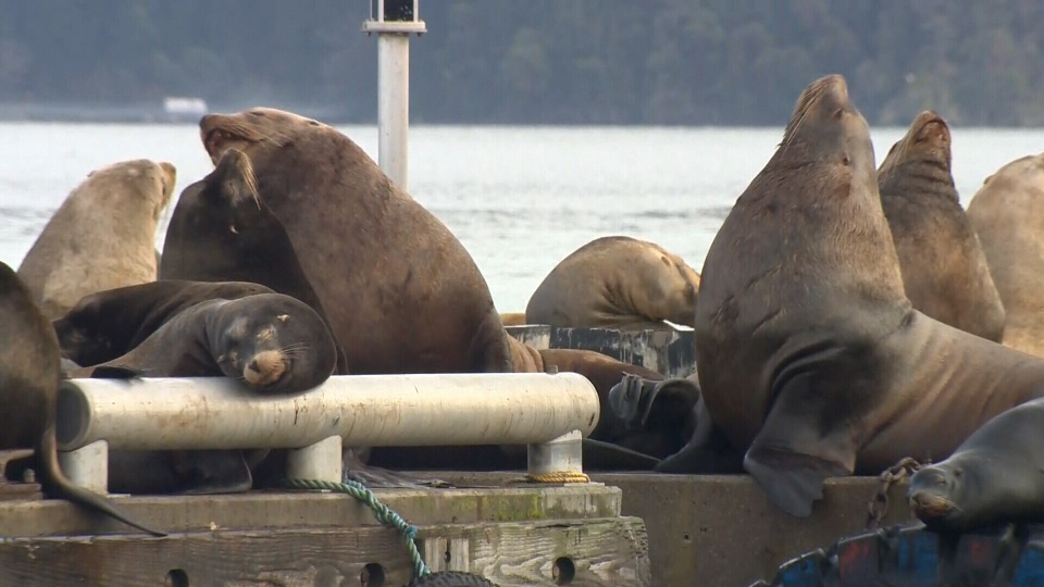 Sea lions rest on a commercial fishing dock in Cowichan Bay: Nov. 14, 2018. (CTV Vancouver Island)