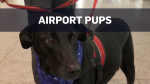 The YUL Pet Squad, composed of 30 dogs, is now roaming the Montreal-Trudeau airport terminal.