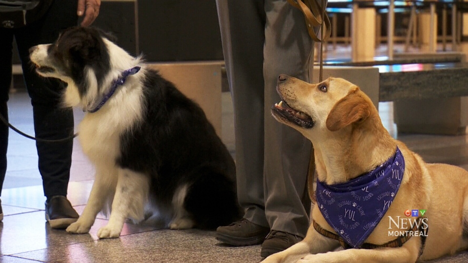 In an attempt to take some of the stress out of air travel, Montreal s Pierre Elliott Trudeau International Airport has introduced 30 therapy dogs to its departure lounge. (CTV)