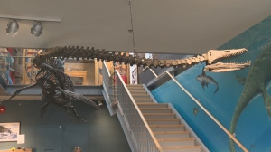 The Elasmosaur is an 80-million-year-old marine reptile discovered along the banks of the Puntledge River in Courtenay back in 1988. Nov. 15, 2018. (CTV Vancouver Island)