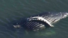 Dead humpback found near Tsawwassen