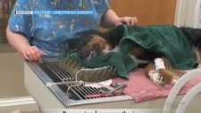 In this week's pet care segment, Rebecca Nobrega talks to veterinarian Dr. Chad Wilkinson from Sudbury's Lockerby Animal Hospital about the use of anesthesia on pets.