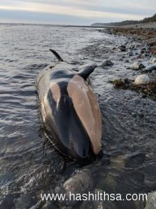 killer whale calf dead