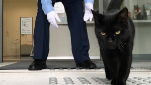 A black cat, dubbed Ken-chan, is rejected from Onomichi city museum of art in Japan. (Twitter: bijutsu1)