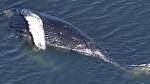 Humpback whale death under investigation
