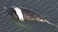 Search for answers in humpback whale death