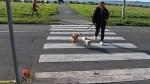 Police investigate pet struck, killed in crosswalk