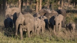 About 32 per cent of female elephants born in Mozambique's Gorongosa National Park since 1992 have lacked tusks. (Source: ElephantVoices)