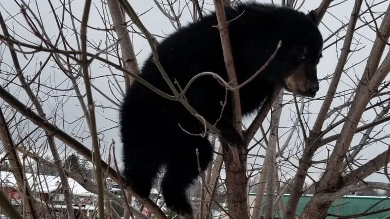 A tiny bear cub, which Ontario Provincial Police estimated weighed between 15 and 20 lbs, was spotted roaming around downtown Huntsville, Ont., on its own the last few days.