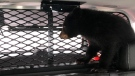 A bear cub separated from its mother takes a break inside a police cruiser awaiting staff from the Aspen Wildlife Sanctuary. (OPP)