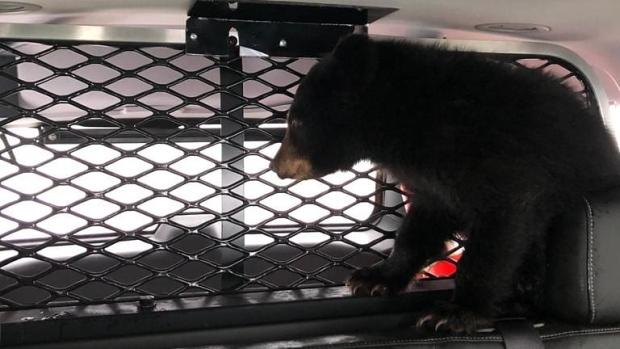 Lost bear cub snuggles up inside Ontario police cruiser