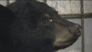 Tiny Black Bear