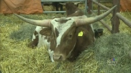 Texas Longhorns and bison come to Agribition