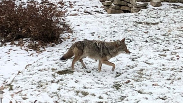 City to host coyote information sessions