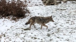 This coyote was spotted on Victoria Crescent in St. Vital Sunday morning. (Source: Riley Snell)