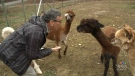 Bob Silverstein left the rat race behind to run an alpaca farm with his wife on Cape Breton Island, N.S., said he enjoys the slower pace of the new lifestyle. (CTV Atlantic)
