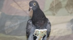 "An Arizona-based bird rescue centre is searching for the owner of a pigeon found wearing a bedazzled ""flight suit."" (Fallen Feathers)"