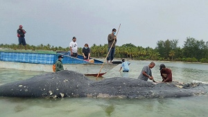 In this undated photo released by Akademi Komunitas Kelautan dan Perikanan Wakatobi (Wakatobi Marine and Fisheries Community Academy or AKKP Wakatobi), researchers remove plastic waste from the stomach of a beached whale at Wakatobi National Park in Southeast Sulawesi, Indonesia. (Muhammad Irpan Sejati Tassakka, AKKP Wakatobi via AP)
