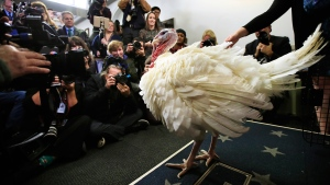 A live turkey is brought into the James S. Brady Press Briefing Room before the media at the White House, Tuesday, Nov. 20, 2018. The pardoning ceremony, to happen later, will mark its 71st year since it first took place in 1947. (AP / Manuel Balce Ceneta)