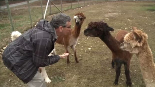 From Big Apple to Albert Bridge, business executive trades in suit and tie for alpaca farming