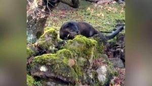 BC otter