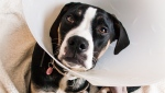 The Guelph Humane Society said that Bentley is recovering well after surgery. (Source: Guelph Humane Society)