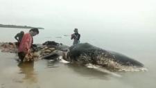 sperm whale plastic