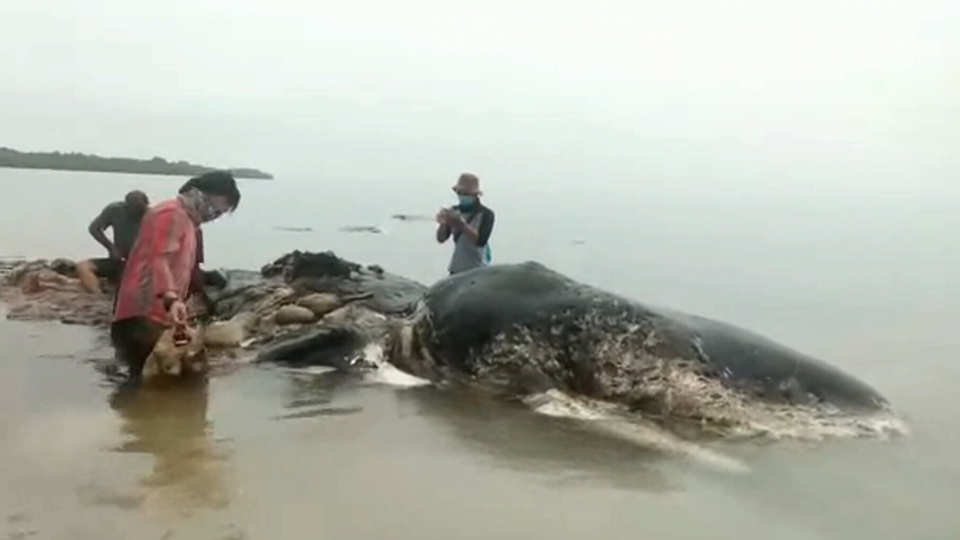 A dead sperm whale that washed up in Indonesia is seen in this image from Nov. 19, 2018.