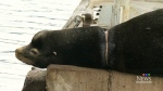 Sea lion choked by packing strap requires rescue
