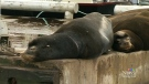 Don't approach entangled sea lion, DFO asks
