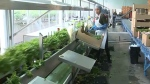 Demand growing for local lettuce