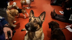 A German Shepard named Commander attends a news conference at the American Kennel Club in New York, Wednesday, Jan. 30, 2013. (AP Photo/Seth Wenig)