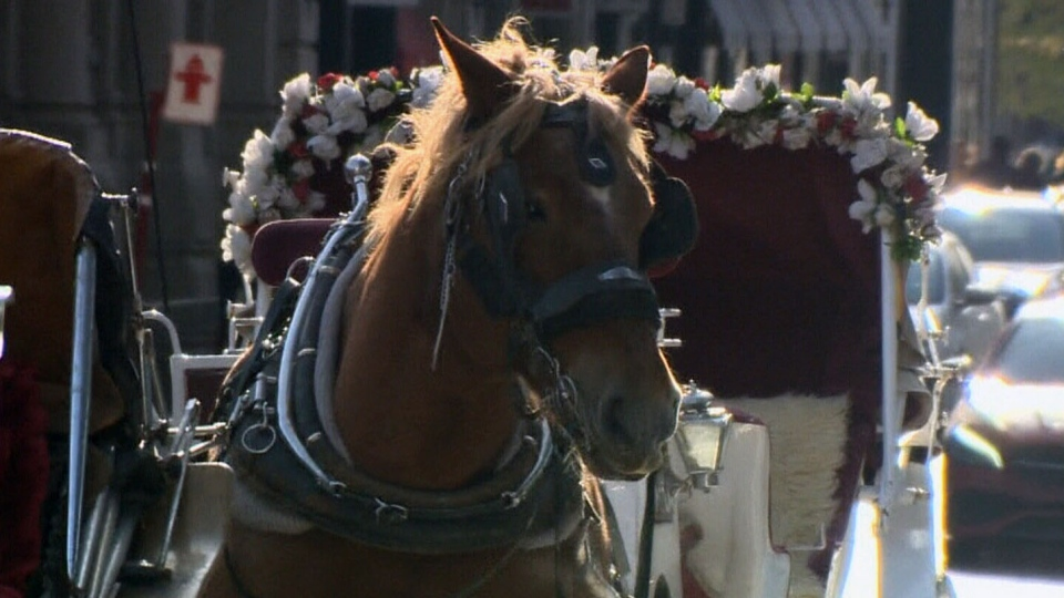 A horse drawing a caleche, or carriage, is seen in Montreal on Nov. 24, 2018. (CTV Montreal)