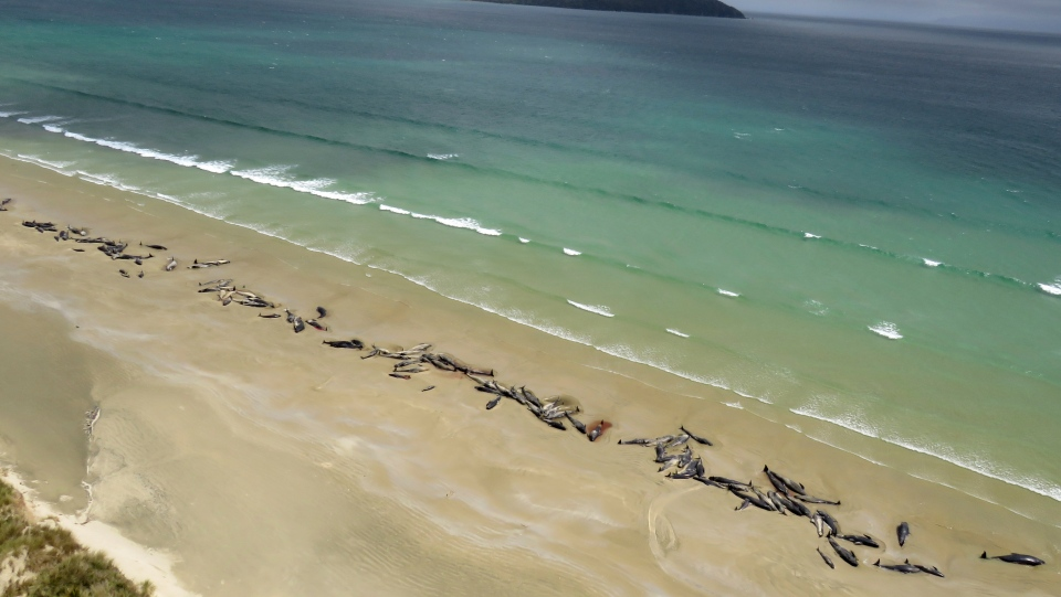 In this Sunday, Nov. 25, 2018 photo, pilot whales lie beached at Mason Bay, Rakiura on Stewart Island, New Zealand. As many as 145 pilot whales have died after the mass stranding which was discovered by a hiker on Saturday, Nov. 24, 2018.(Department of Conservation via AP)