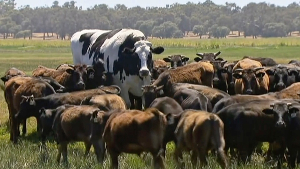 In this image made from video taken Nov. 15, 2018, Knickers the steer, center back, is in paddock with cow herd in Lake Preston, Australia. (Channel 7's Today Tonight via AP)