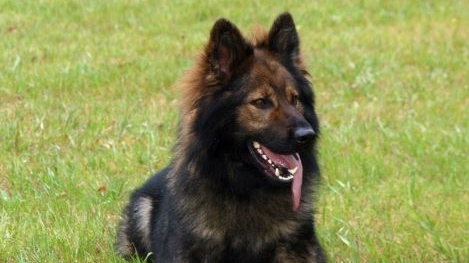 Jager, an RCMP dog, helped in the arrest of two prolific offenders in Nanaimo on the weekend, police say. Nov. 28, 2018. (Handout)